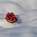 Megfagyva Hó Rózsa