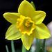 A sárga nárcisz vagy csupros nárcisz (Narcissus pseudonarcissus)