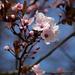 Tavasz Virág Vadszilvafa