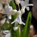 A kerti jácint (Hyacinthus orientalis)