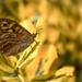 Lepke sárga levelek