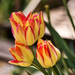 Tulipán tavasz