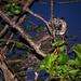 Az erdei fülesbagoly fióka (Asio otus)