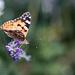 Lepke Pillangó