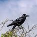 Varjú (Corvus cornix)