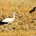 Gólya és a varjú vadászaton
