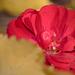 Rózsa Levelek Ősz