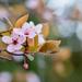 Gyömölcsfavirág Tavasz