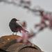 A fekete rigó (Turdus merula)Madár Tavasz