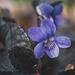 Ibolya Virág