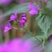 Holdviola Virág