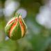Rózsabimbó a semmiből
