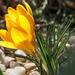 virág sárga tavasz krókusz