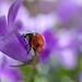 A hétpettyes katicabogár (Coccinella septempunctata)