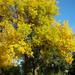 Az arani fa