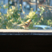 My chaffinch:)