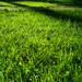 Zöldelő fű