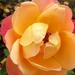 Őszi-rózsa 2.