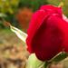 Őszi-rózsa