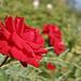 Egy rózsa.