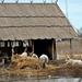 A marhák