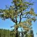 Virágzó akácfa