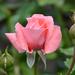 Rózsa-szín