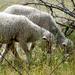 Báránykák
