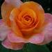 rózsa sorozat 3
