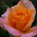 rózsa sorozat 4