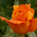 rózsa sorozat