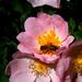 csipkebokor+ méhecske