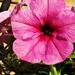 rózsaszín petúnia