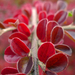 Vöröslő levelek