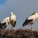 Ifjú gólyák