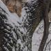 Téli kutyafa