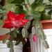 Karácsonyi kaktuszom.