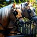 Domaszék lovasnap 013