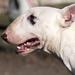 Album - Bull terrier
