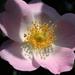 Rózsaszines csipkerózsa