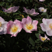 Csipke(rózsa) sor