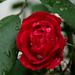 Vörös rózsa eső után