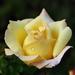 Sárga rózsa reggel