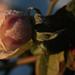 Fagyott rózsabimbó No.3
