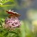 Csíkos medvelepke /Panaxia quadripunctaria/