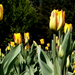 Variációk tulipánra 9.