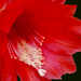 Kezdődik a kaktuszok virágzása