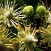 Hársfavirág makro