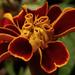 Törpe bársonyvirág