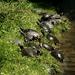 Napozó teknősök